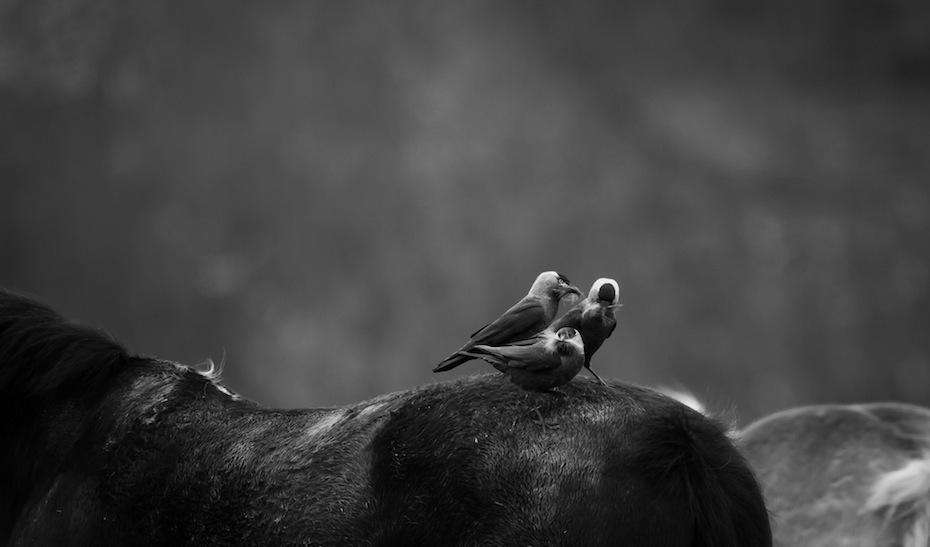 Årets unge nordiske naturfotograf - et av flere bilder i serie, kaier henter reirmateriale fra hest