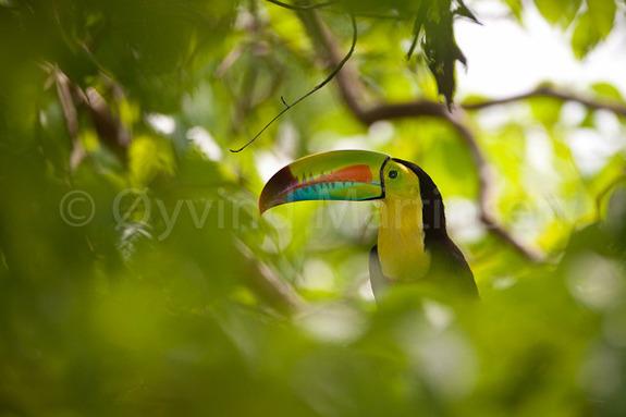 Øyvind Martinsen - Tukan i regnskogen i Panama.