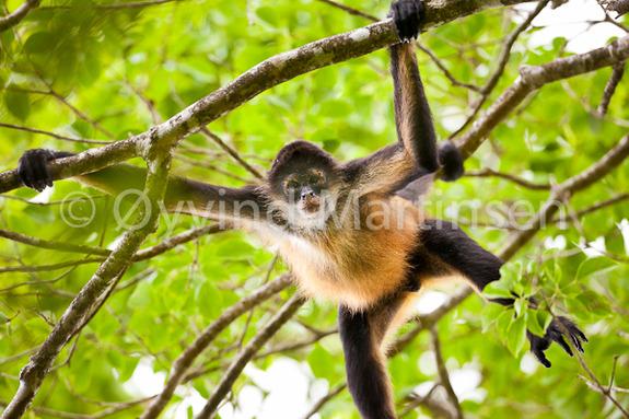 Øyvind Martinsen - Azuero Spider Monkey i Cerro Hoya nasjonalpark.
