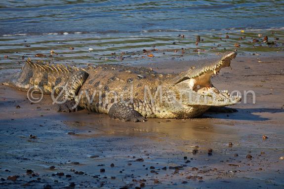 Øyvind Martinsen - American Crocodile i Isla de Coiba nasjonalpark