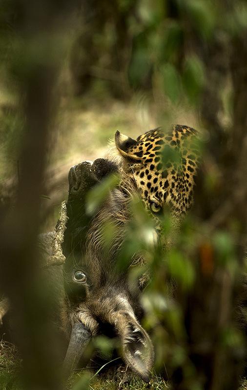Tom Schandy - Leopard har tatt gnu