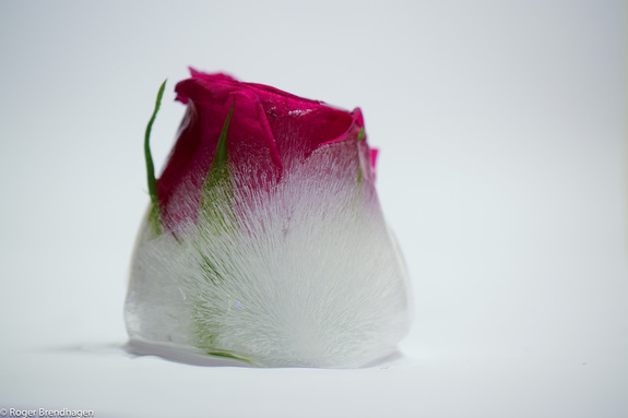 Roger Brendhagen - Rose i is
