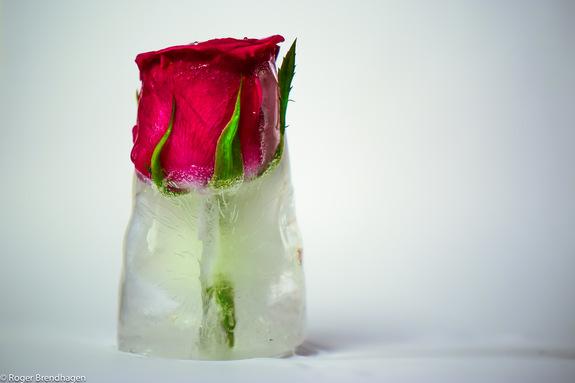 Roger Brendhagen - Rose med is rundt stilken