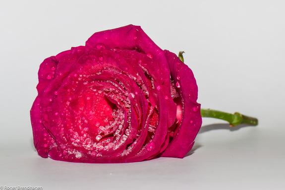 Roger Brendhagen - Liggende rose