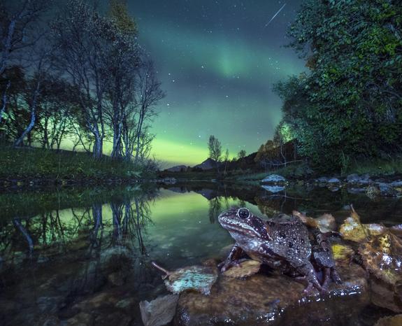 Foto: Audun Rikardsen / NNPC - Frosk i nordlys