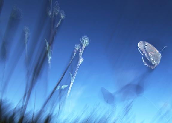 Foto: Leif Rustand /NNPC - Gullvinge i flukt
