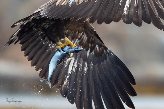 Foto: Roger Brendhagen - Flyvefisk