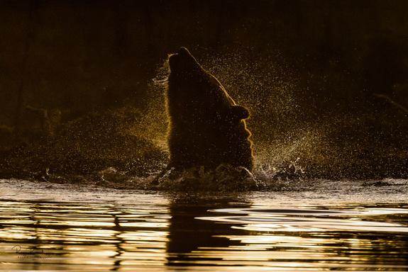 Roger Brendhagen - Bade-bjørn