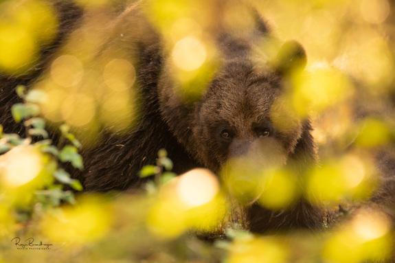 Roger Brendhagen - Bjørk i motlys - inkludert brunbjørn