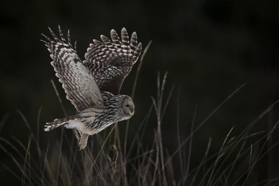 Foto: Roger Brendhagen - Jagende slagugle
