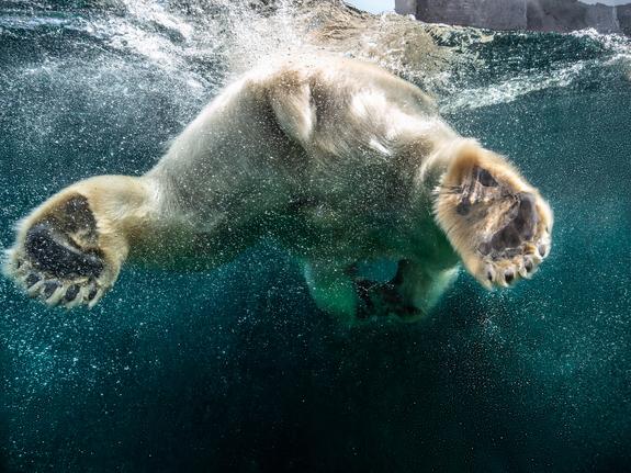 H.Angelica Corneliussen - Polar bear
