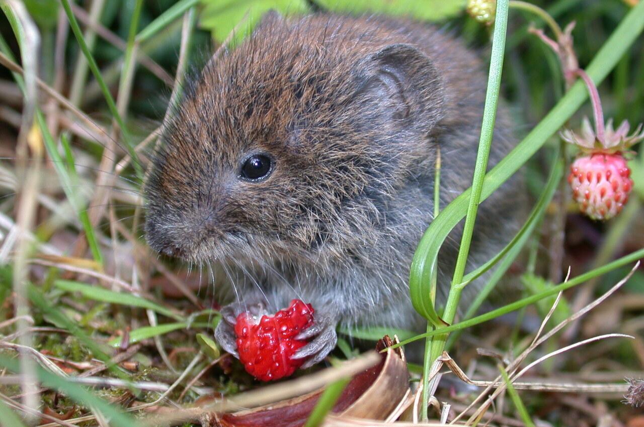 Markmus liker markjordbær.