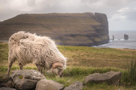 - Villsauer på Færøyene