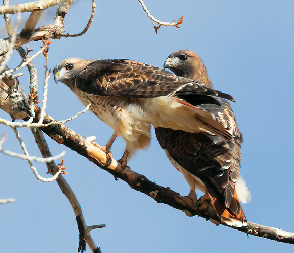 - Red Tailed Hawk